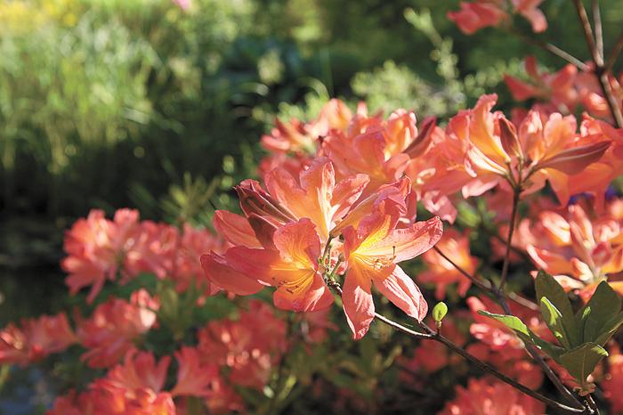 листопадные рододендроны