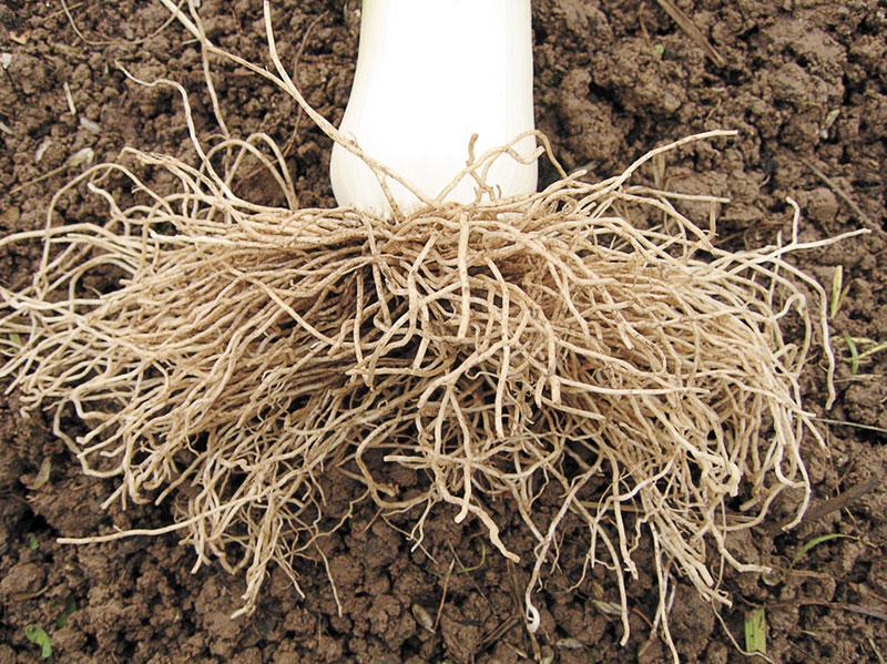 У лука-порея мощная корневая система. Мочковатые, довольно толстые корни выглядят очень внушительно, если аккуратно выкопать крупное растение и отряхнуть землю. Оставаясь в земле после уборки урожая, корни порея обогащают почву органикой. В Великобритании порей иногда высаживают именно с этой целью